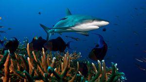 La sobrepesca y cambio climático pone en peligro de extinción cerca del 40% de las especies de tiburones y rayas