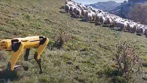 Spot, el perro robot, comenzó a pastorear ovejas en Nueva Zelanda