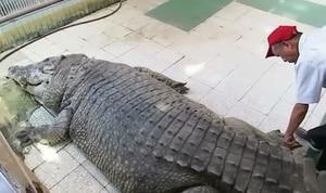 Em vídeo surpreendente, homem aparece tocando crocodilo gigante; assista