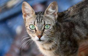 Coronavirus: gatos y hurones pueden contagiarse con la enfermedad
