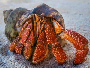 Aditivo que liberan los plásticos en el océano confunde y excita a los cangrejos ermitaños