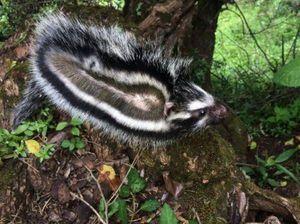 Conoce al único mamífero capaz de recolectar toxinas vegetales para después defenderse con el veneno