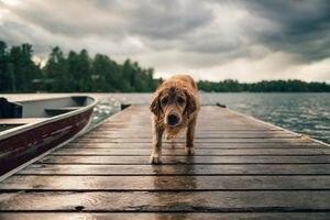 ¿Cómo saber si un perro está envenenado y qué hacer?