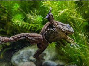 Conoce a la 'rana escroto': un anfibio en peligro de extinción que un zoológico británico intenta salvar