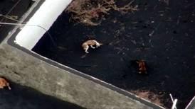 Así fue el rescate de unos perritos en medio de la lava del volcán de La Palma