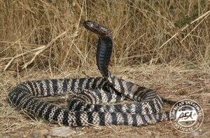 Em busca de vingança, homem morre após comer cobra viva