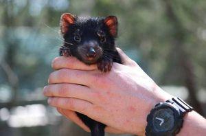 Nacen demonios de Tasmania en Australia por primera vez en 3 mil años
