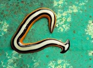 Encuentran extraño gusano en Estados Unidos: es capaz de sobrevivir tras ser cortado en 300 partes