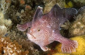 """El """"Pez-Mano liso"""" se convirtió en el primer pez marino extinto de la era moderna"""