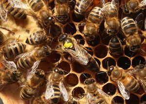 Niña de 4 años descubre dos colonias de abejas sin aguijón que se pensaban extintas hace 70 años