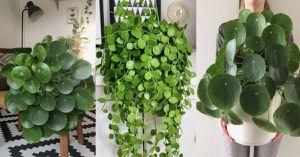 Así puedes mantener hermosa la planta china del dinero o «Pilea peperomioides»