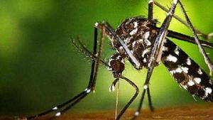 Reapareció el mosquito tigre y el coronavirus fue la causa: es capaz de transmitir 22 virus más