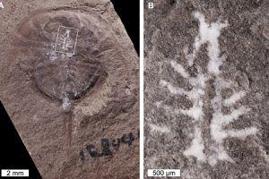 Científicos encuentran fósil de 310 millones de años sorprendentemente con el cerebro intacto