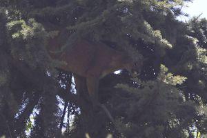 ¿Que más podría pasarle a Chile?: avistamiento de puma genera alarma en Providencia y Ñuñoa