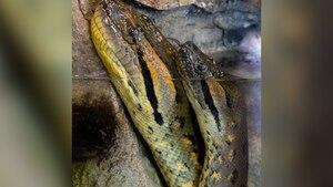 Vídeo mostra sucuri verde trocando de pele; espécie é a maior cobra do mundo