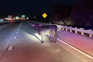 ¿De vacaciones? Toro da peculiar paseo sobre una autopista en California