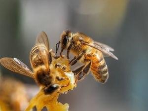 Así pueden detectar abejas entrenadas el coronavirus en pocos instantes
