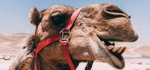 Los camellos inspiran a investigadores del MIT para crear un medio de refrigeración sin electricidad