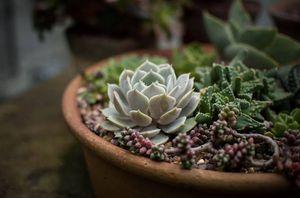 Cuatro plantas suculentas raras que te brindarán tranquilidad en el hogar