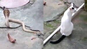 Gato impide que una cobra entre a su hogar en India