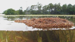 Hormigas forman con su propio cuerpo un bote para salvarse de inundaciones