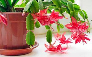 Consejos útiles y prácticos para cuidar el decorativo cactus de Navidad
