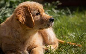 Encuentran que el origen del pelaje rubio de los perros Golden Retriever se remonta a una especie de hace más de dos millones de años