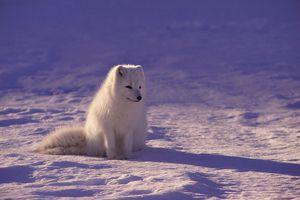 Estudio demuestra que los lobos no reaccionan igual que los perros aun siendo criados en entornos humanos