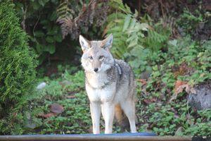 ¿Coyotes drogados? Investigan las razones de inusuales ataques de estos animales silvestres en Canadá