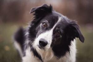 Esta es la raza de perro más inteligente del mundo, según estudio